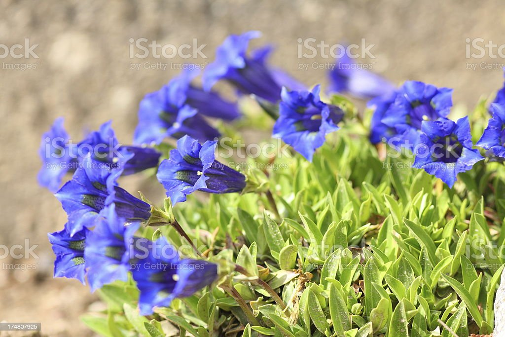 blue blooming gentian in Alps stock photo