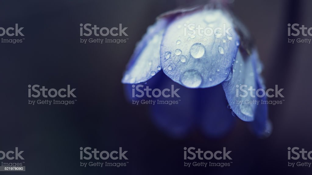 blue blossom with water drops of geranium pratense stock photo
