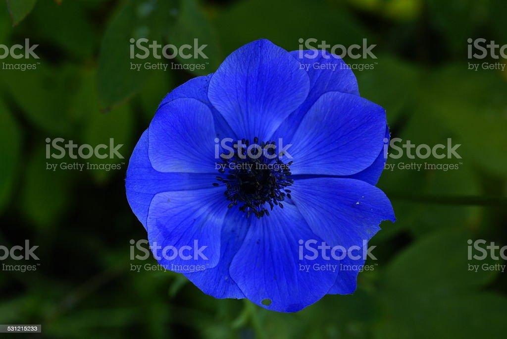 Blue, blue flowering blue stock photo