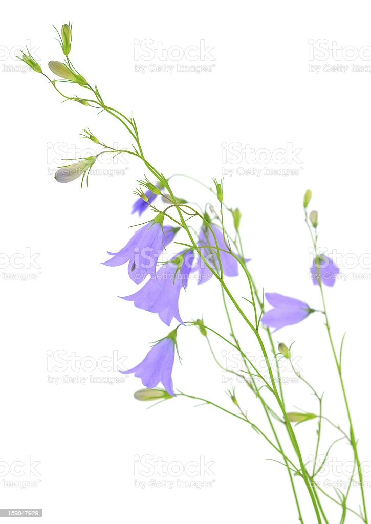 blue bluebell flower royalty-free stock photo