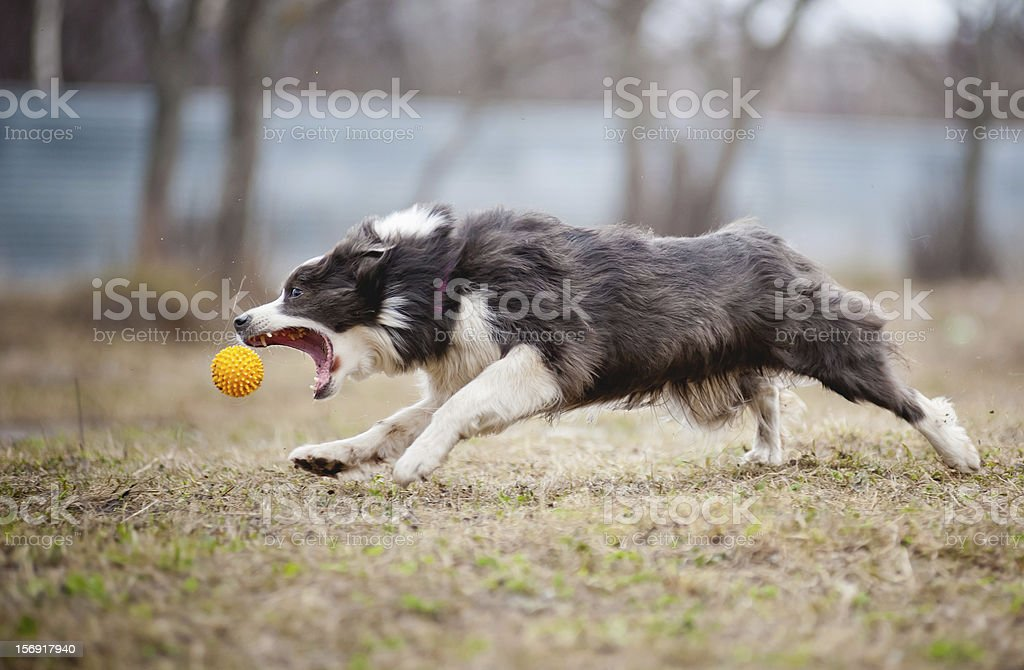 Blue Border Collie dog playing with a toy ball royalty-free stock photo
