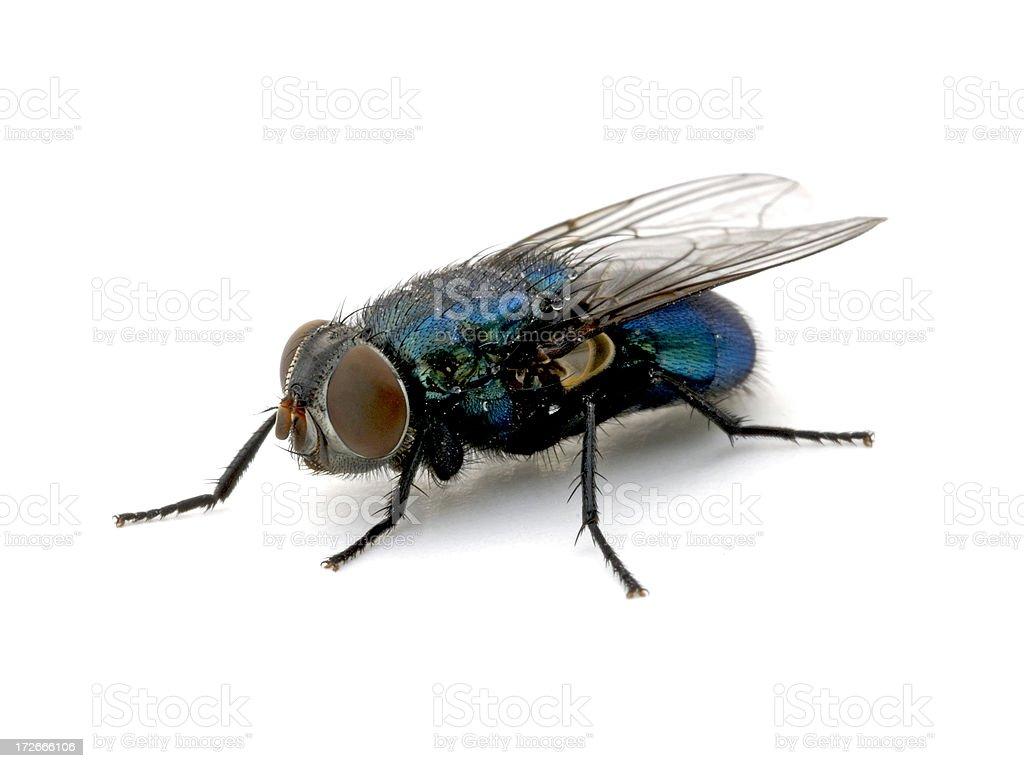 Blue Bottle Fly royalty-free stock photo