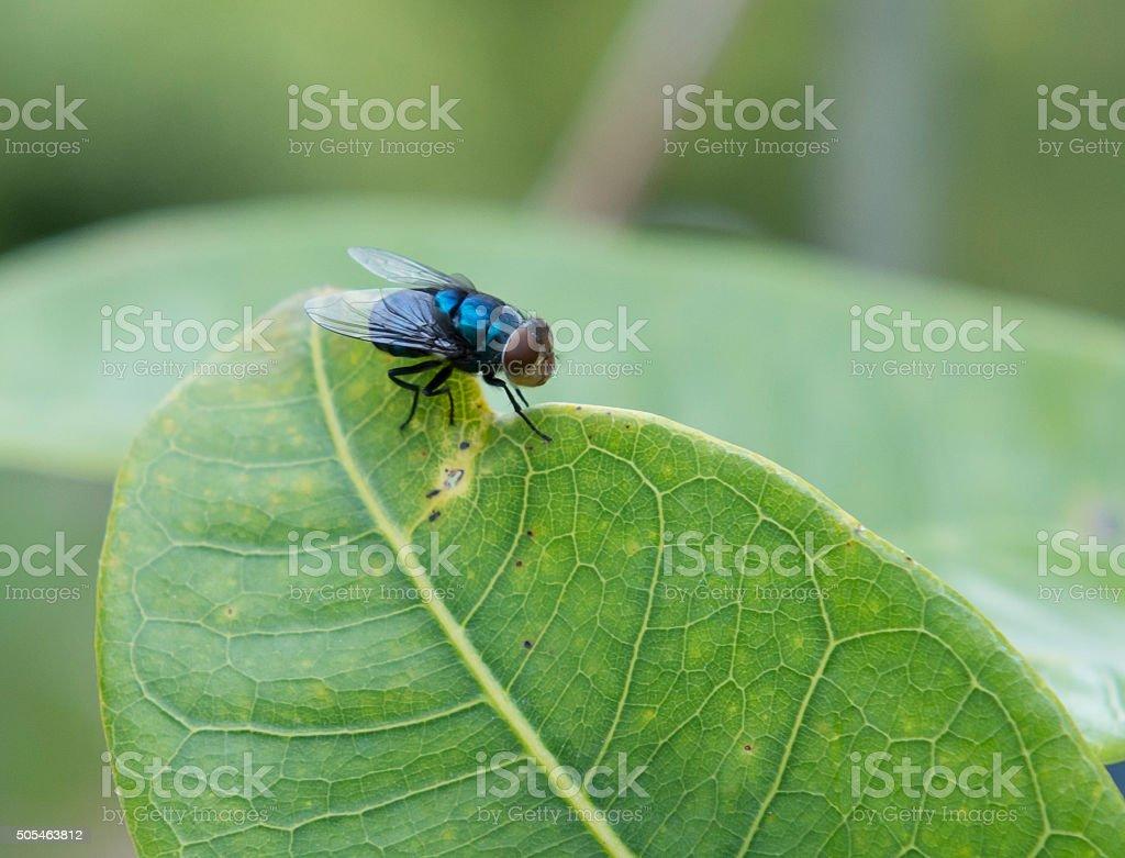 Blue Bottle fly stock photo