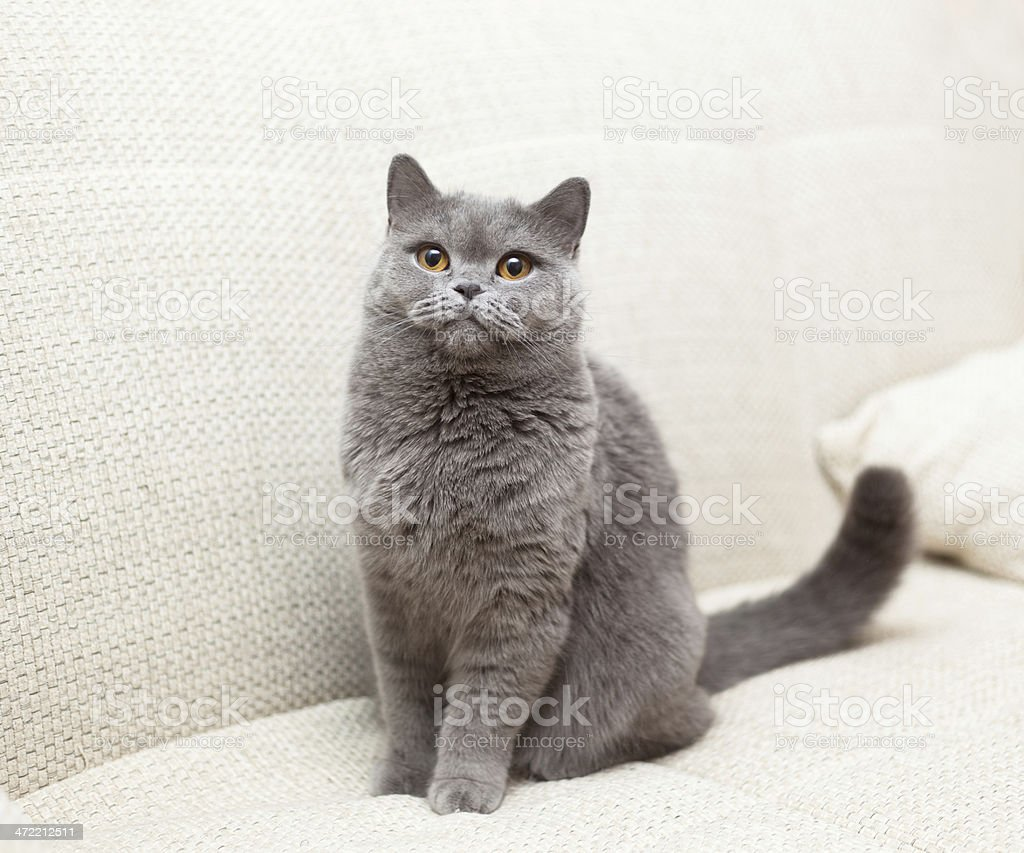 blue British cat with yellow eyes sitting on a couch stock photo