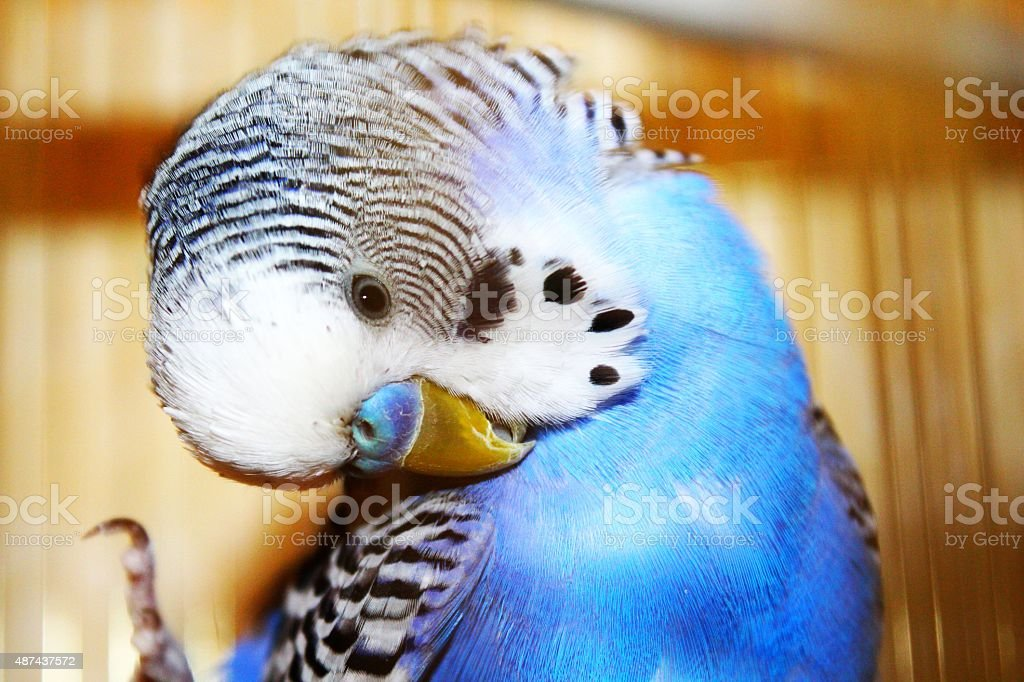 Blue budgerigar is cleaning feathers stock photo