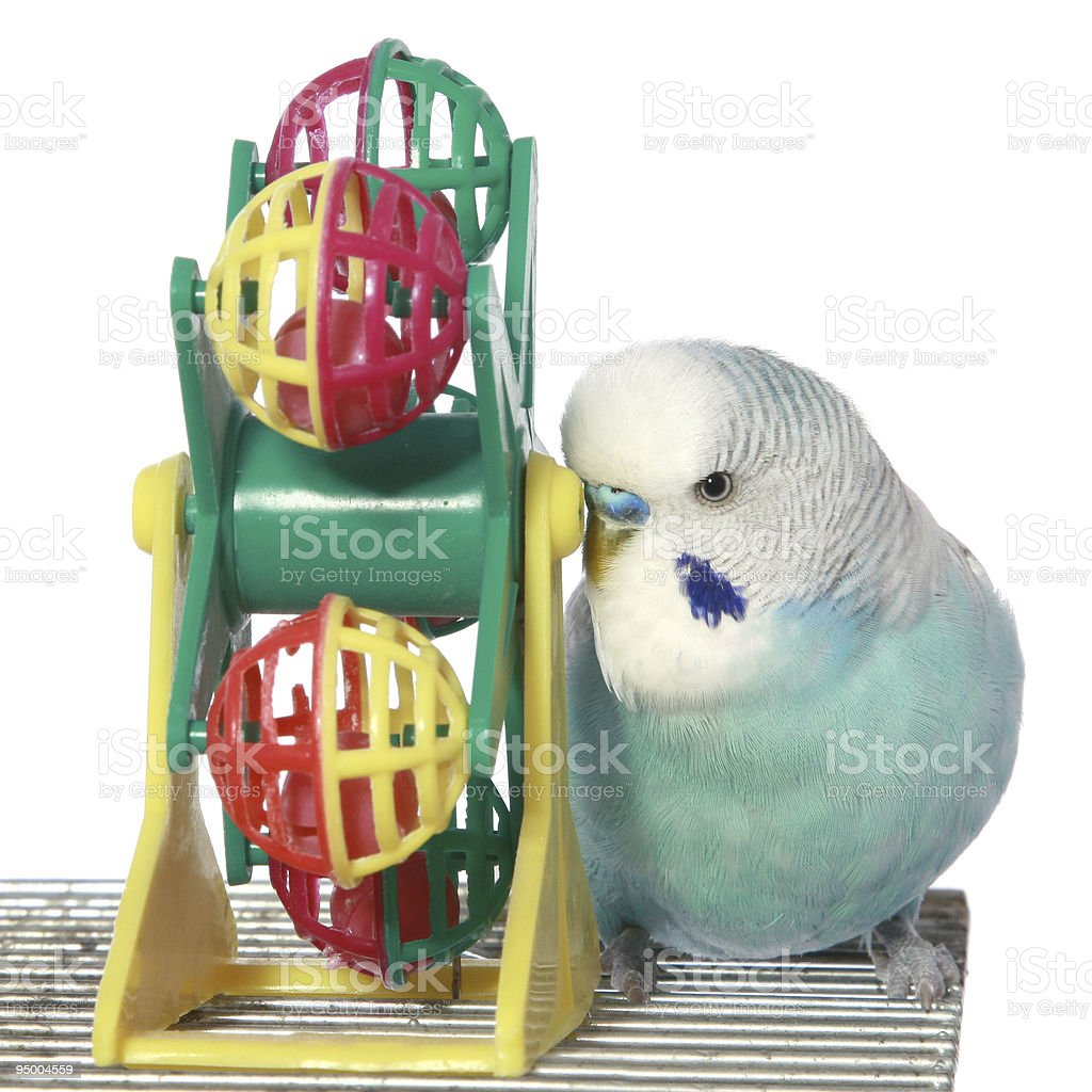 Blue budgerigar on a cage stock photo