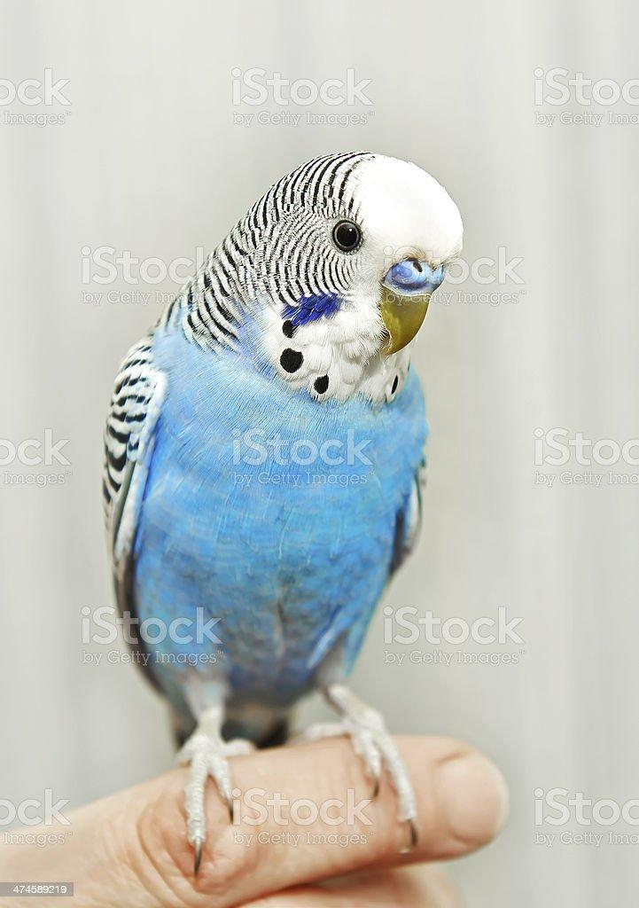 Blue Budgerigar (Melopsittacus undulatus) stock photo