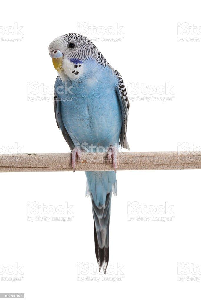 Blue budgie parakeet on a wooden perch stock photo