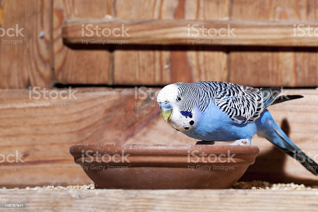 Blue budgie royalty-free stock photo