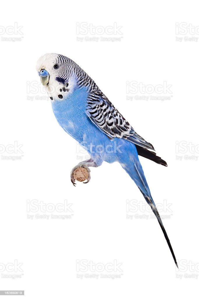 Blue Budgie stock photo