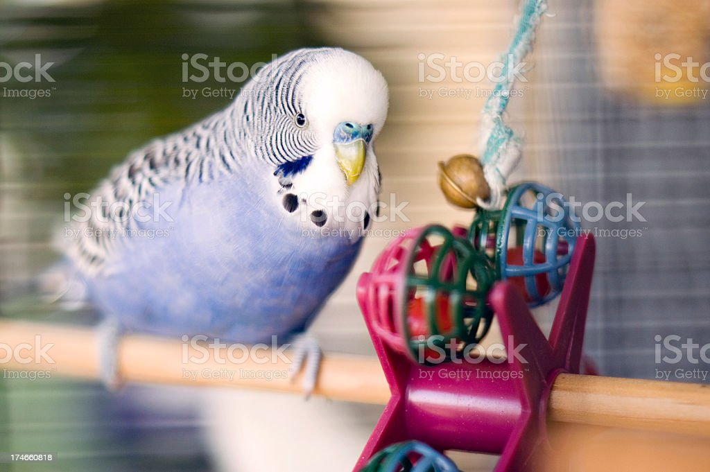 Blue budgie with toy stock photo