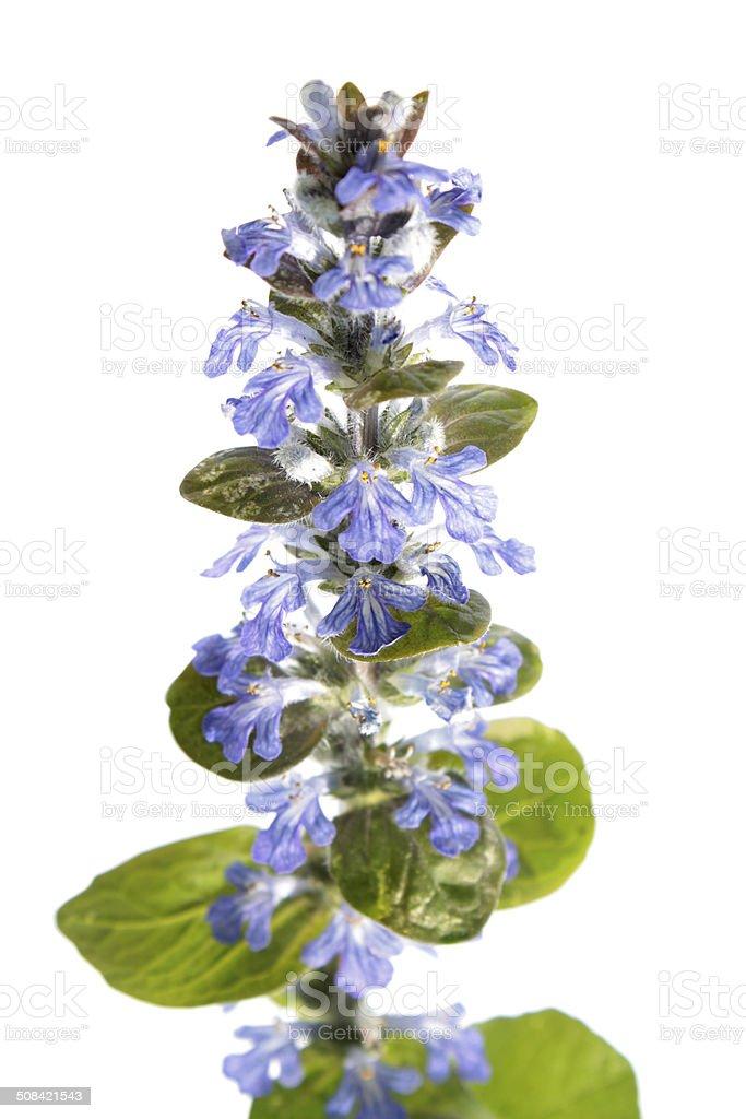 Blue bugle (Ajuga reptans) isolated on white stock photo
