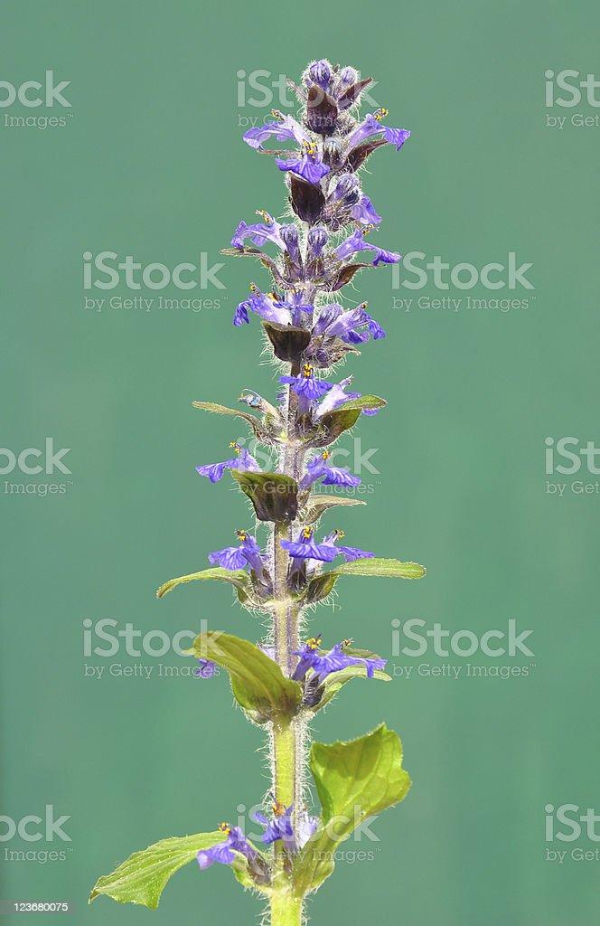 Blue bugle (Ajuga reptans) stock photo