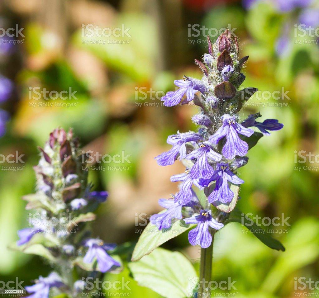 blue bugle stock photo