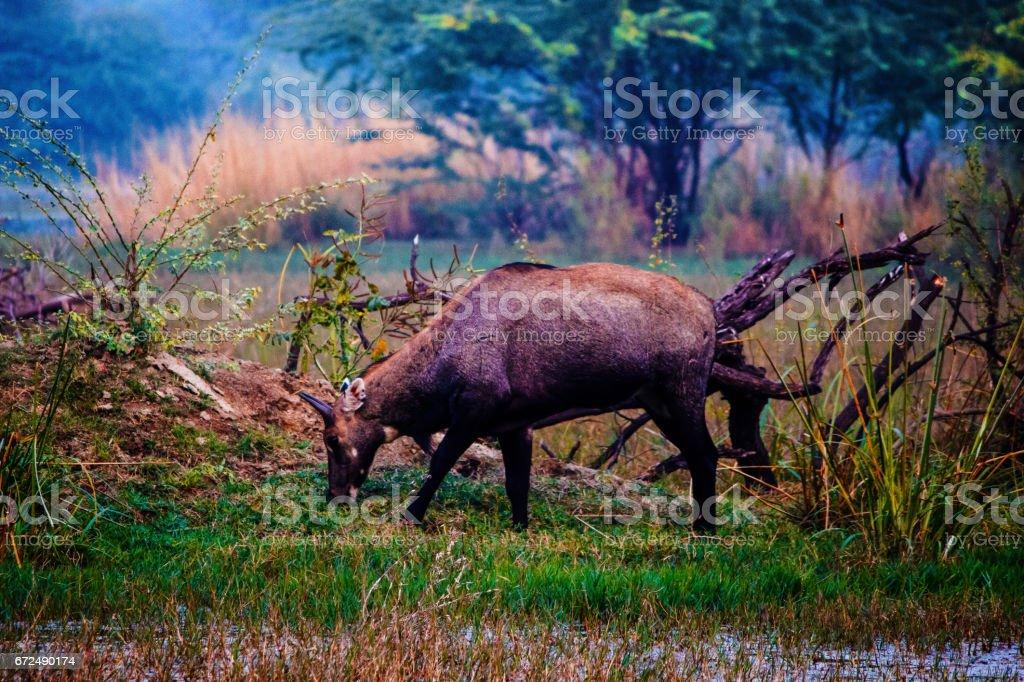 Blue Bull in Bharatpur Bird sanctuary stock photo