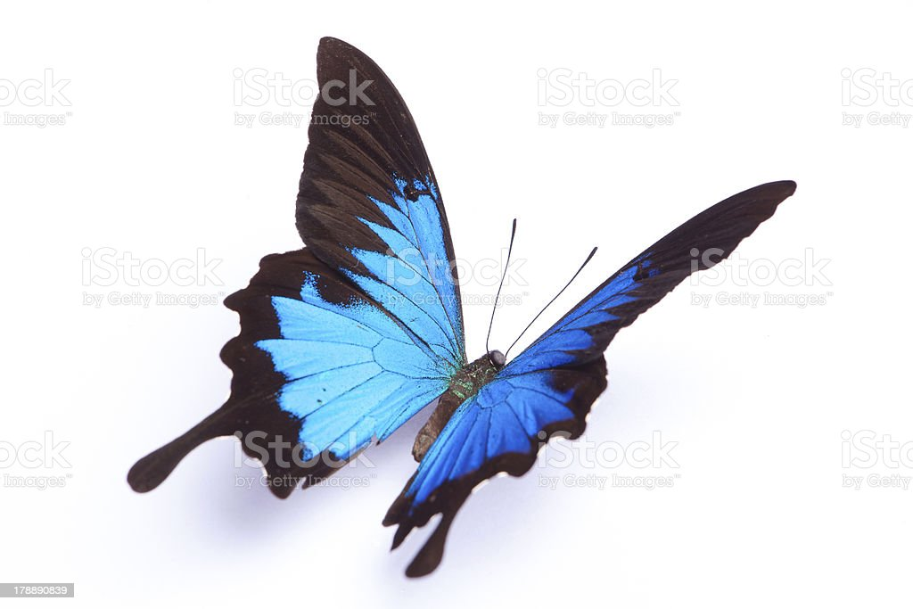 Blue butterfly isolated on white background stock photo