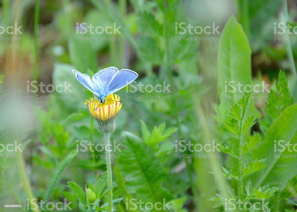 Blue Butterfly on Dandelion in a Meadow stock photo