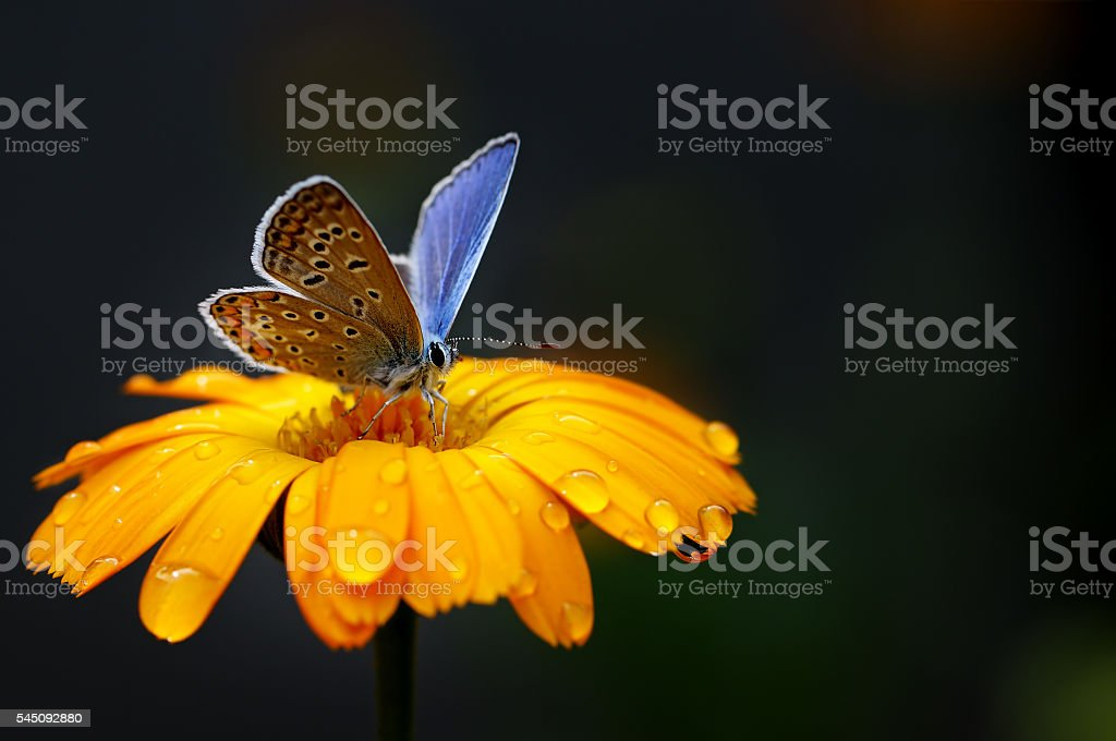 blue butterfly on yellow flower stock photo