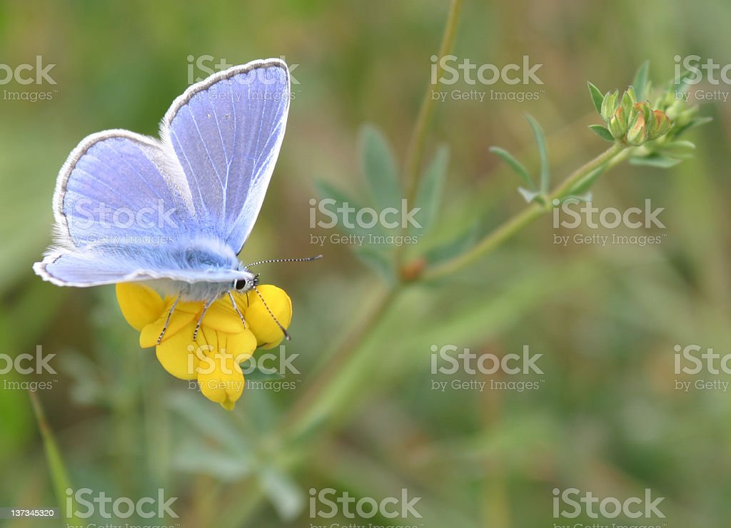 Blue butterfly royalty-free stock photo