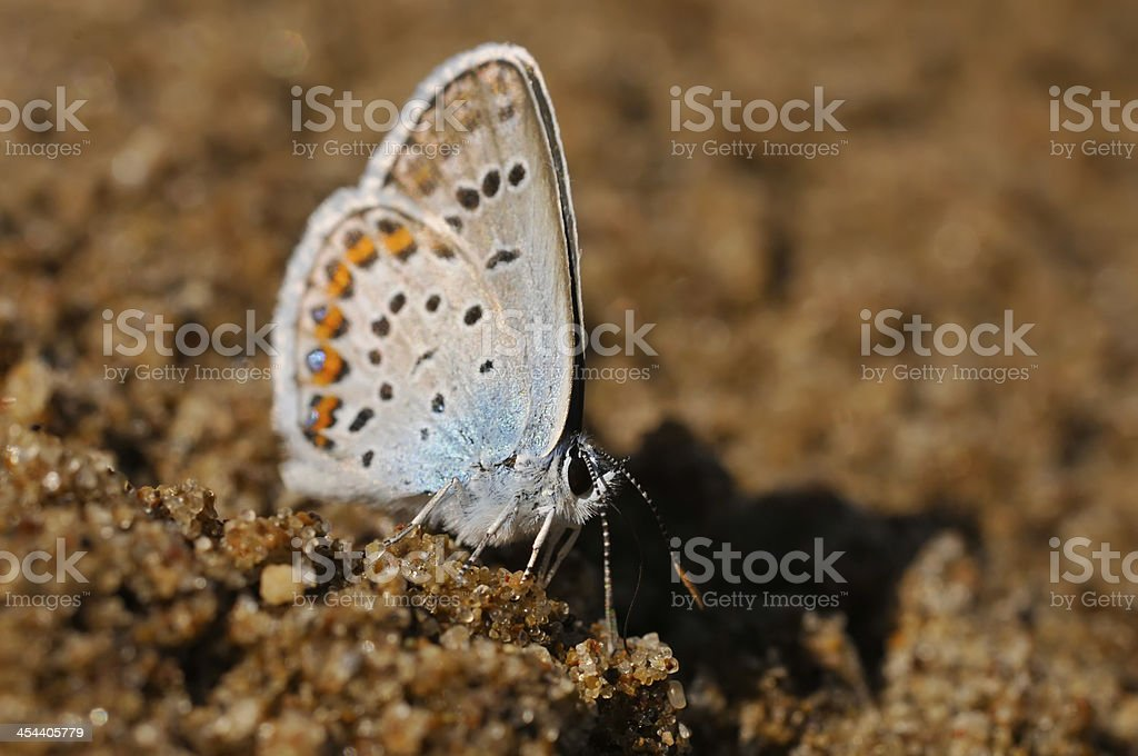 Blue butterfly (Lycaenidae) royalty-free stock photo
