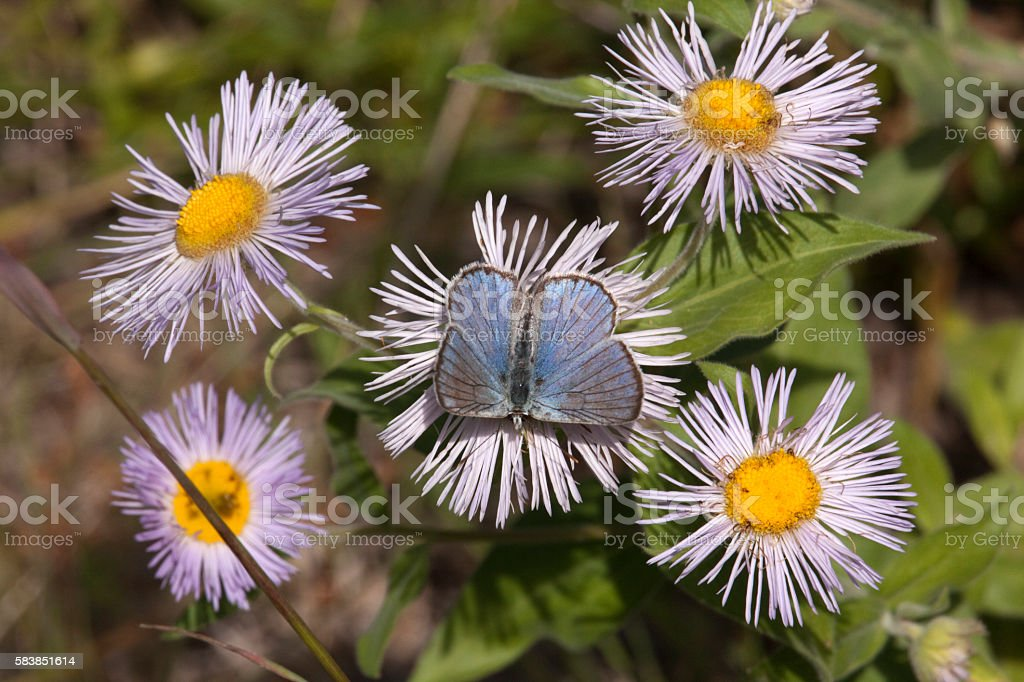 Blue butterfly pollinates fleabane aster flowers Reynolds Park Colorado stock photo
