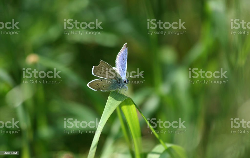 Blue butterfly sitting on a straw royalty-free stock photo