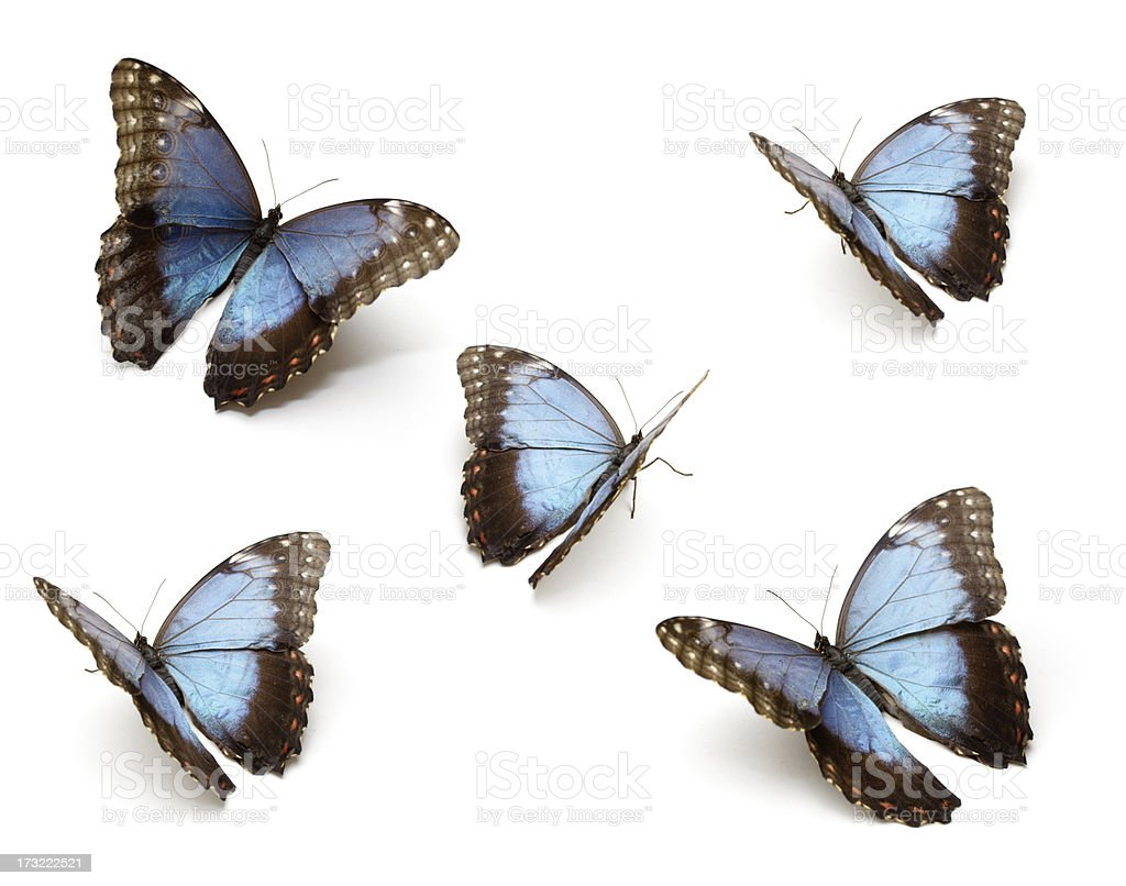 Blue Butterfly's royalty-free stock photo
