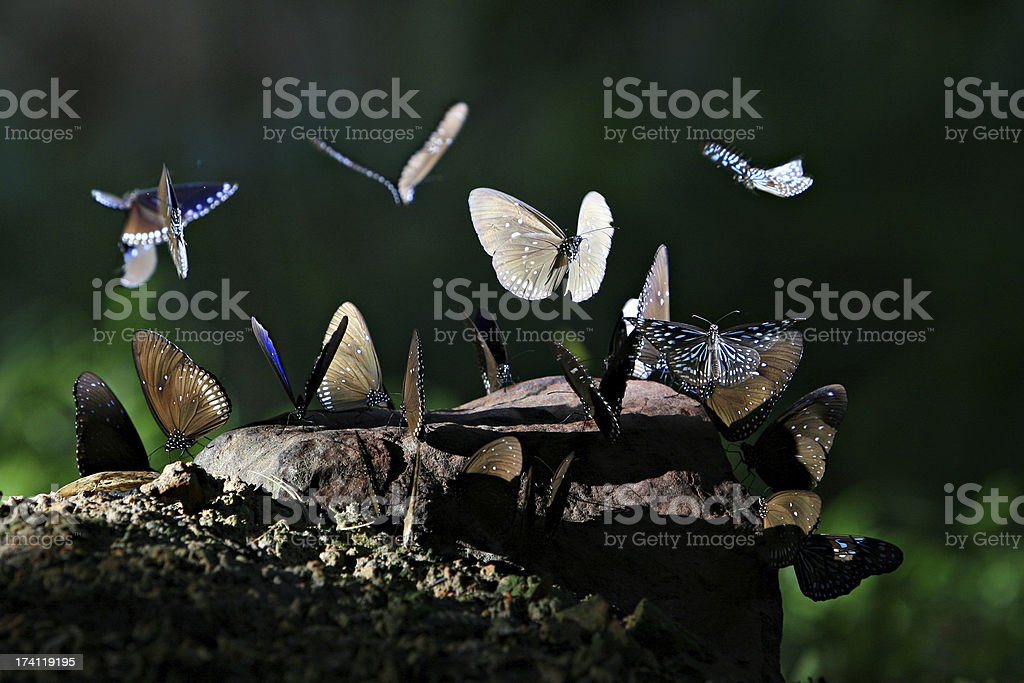 blue butterflys stock photo