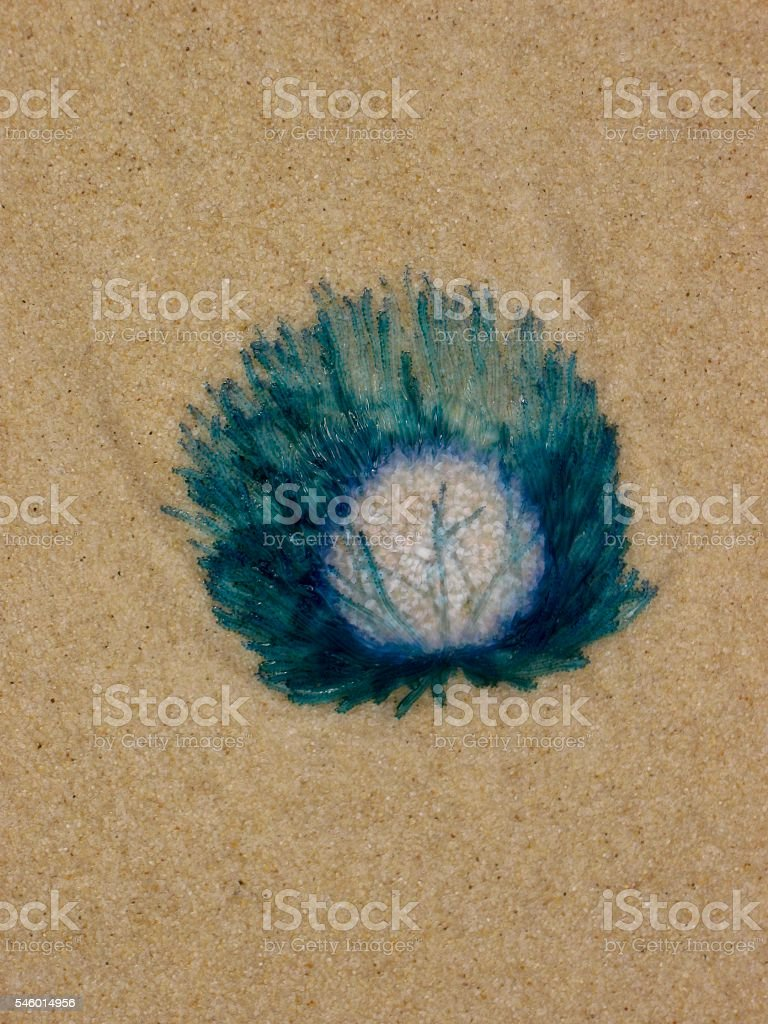 Blue Button Jellyfish on the sand stock photo