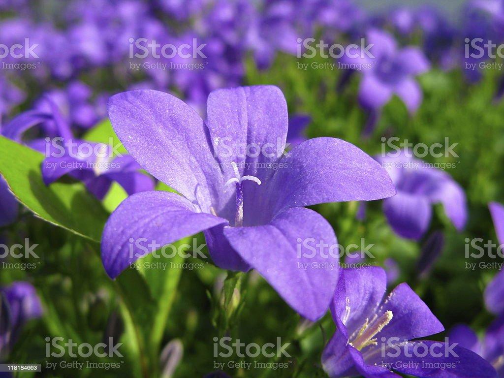Blue Campanula Flower royalty-free stock photo
