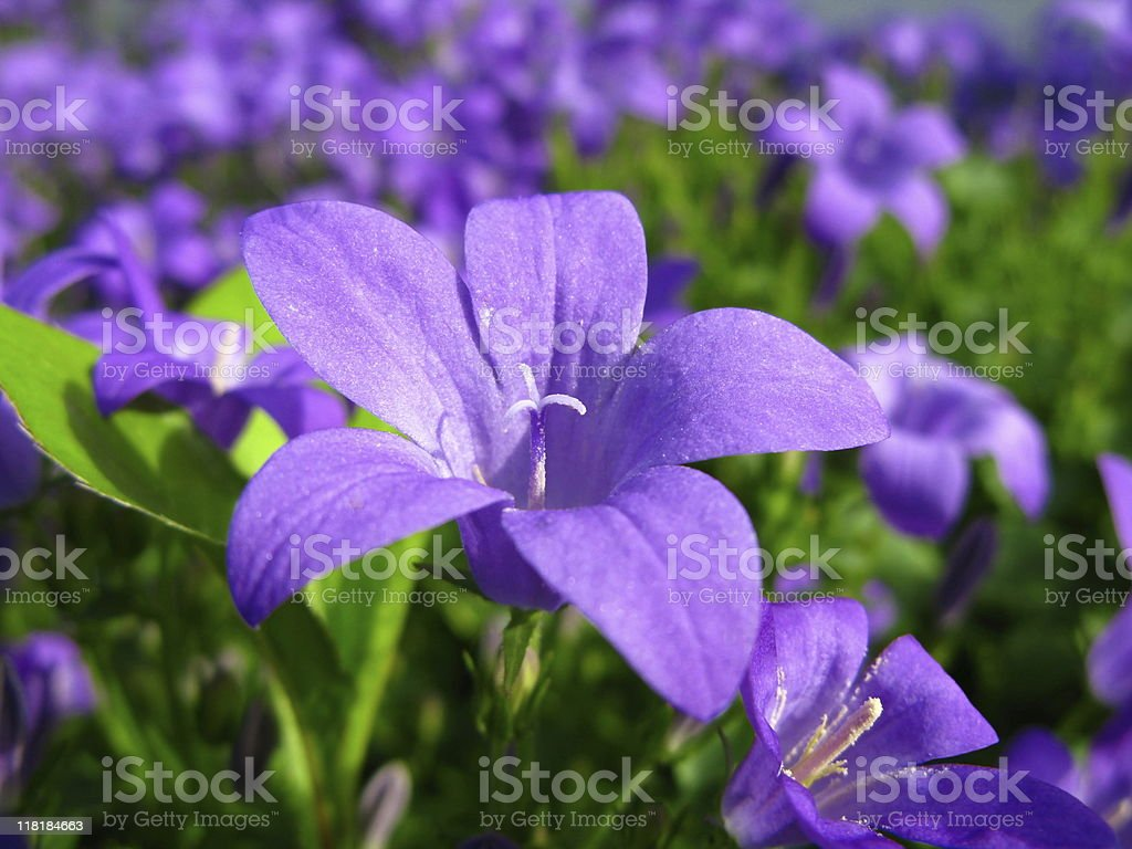 Blue Campanula Flower stock photo