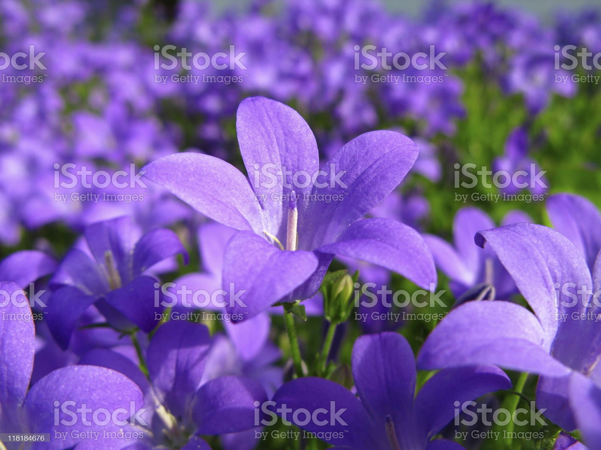 Blue Campanula Flower royalty-free stock photo