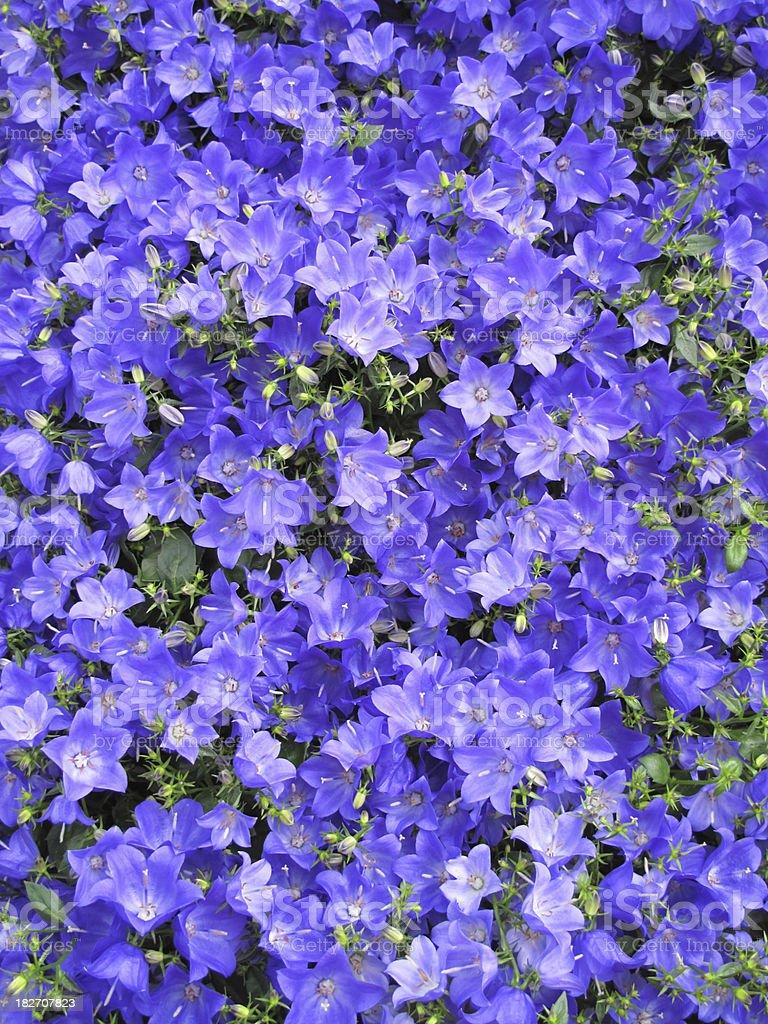 Blue Campanula Flower stock photo