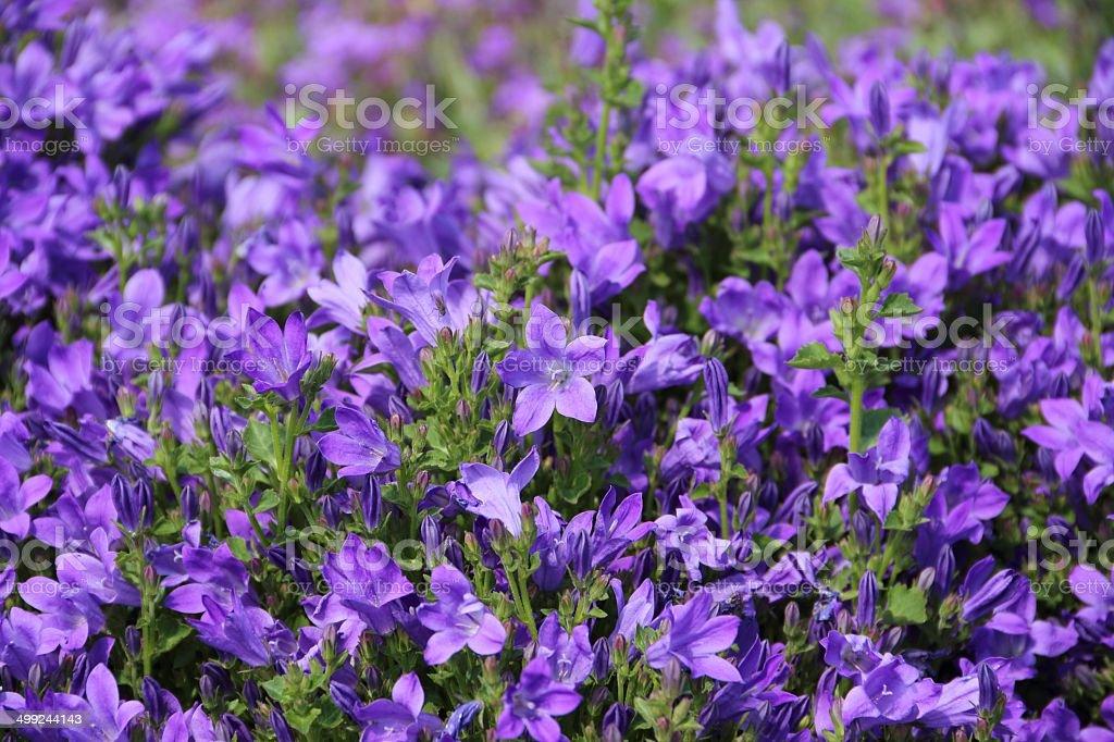 Blue campanula flowers royalty-free stock photo
