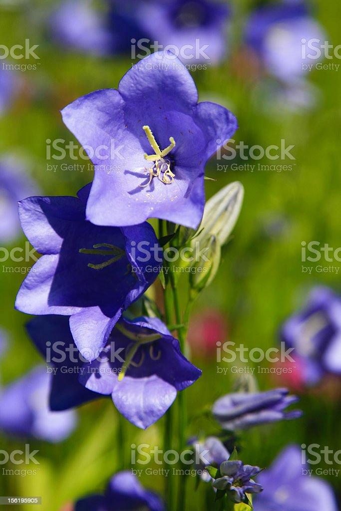 Blue Campanula stock photo