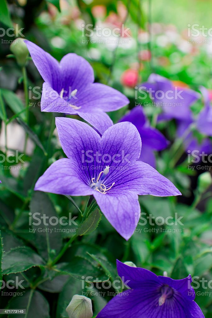 Blue Campanula stock photo