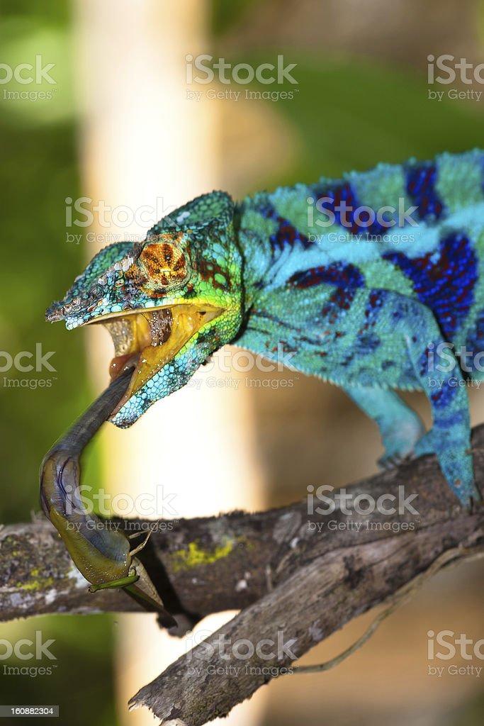 Blue chameleon catching cricket stock photo