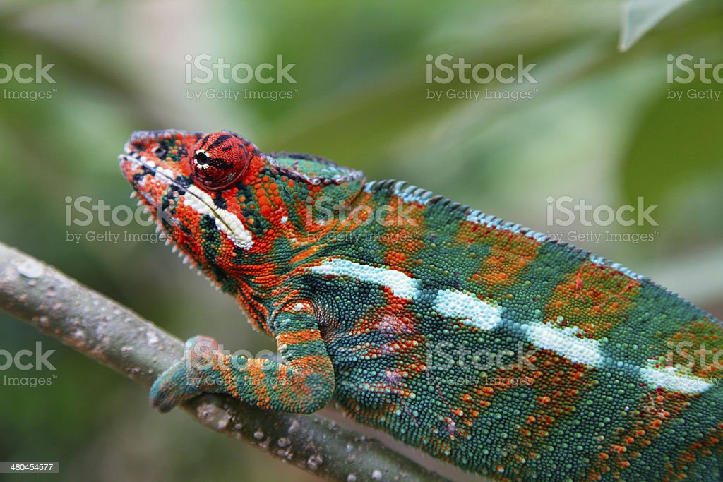 Blue Chameleon in a tree stock photo