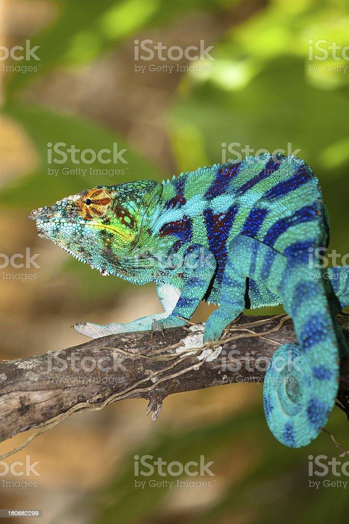 Blue chameleon stock photo