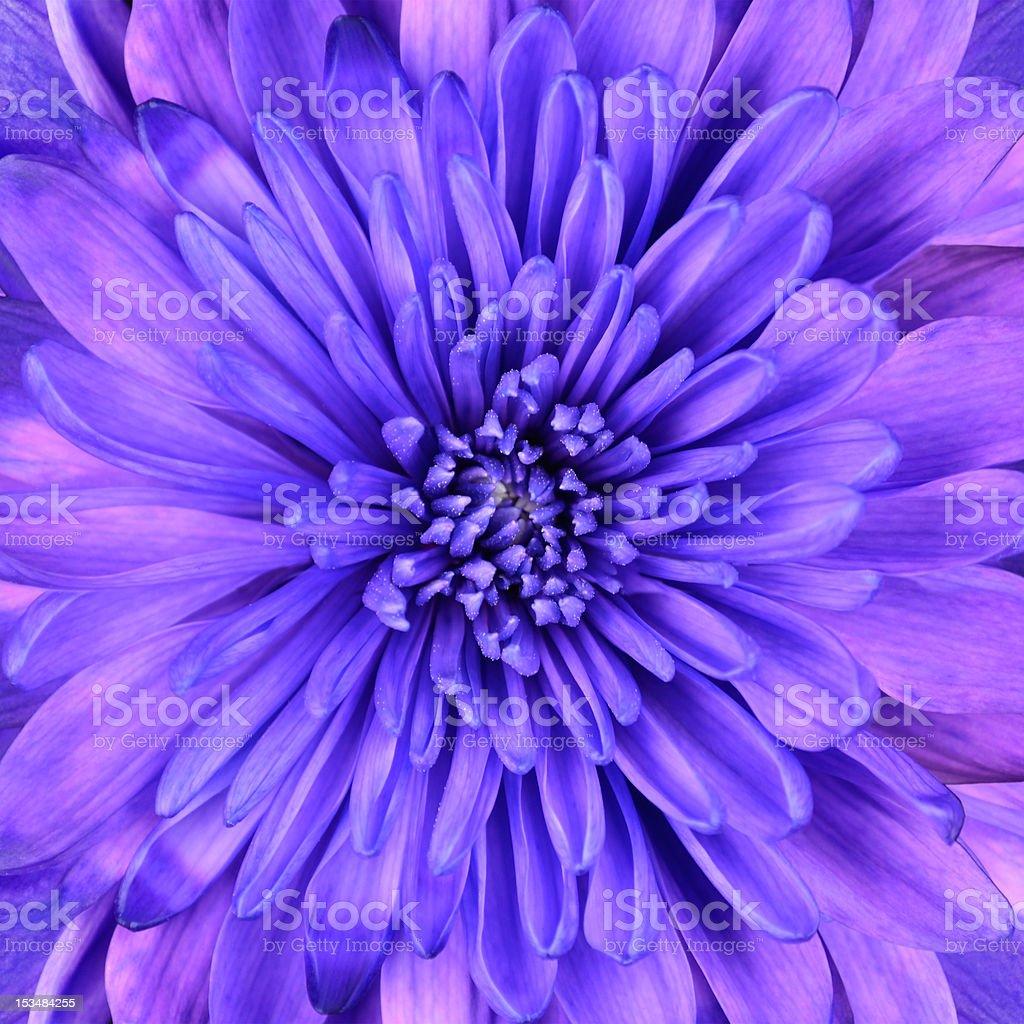 Detail of Blue Chrysanthemum Flower Head Closeup Background