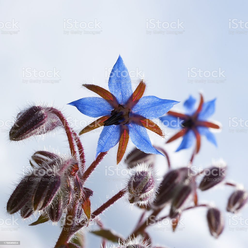 Blue colored Savory Hortensis with hairy buds stock photo
