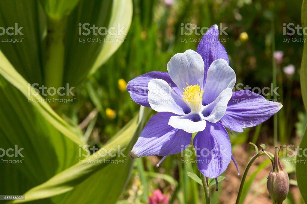 Blue Columbine wildflower in skunk cabbage stock photo