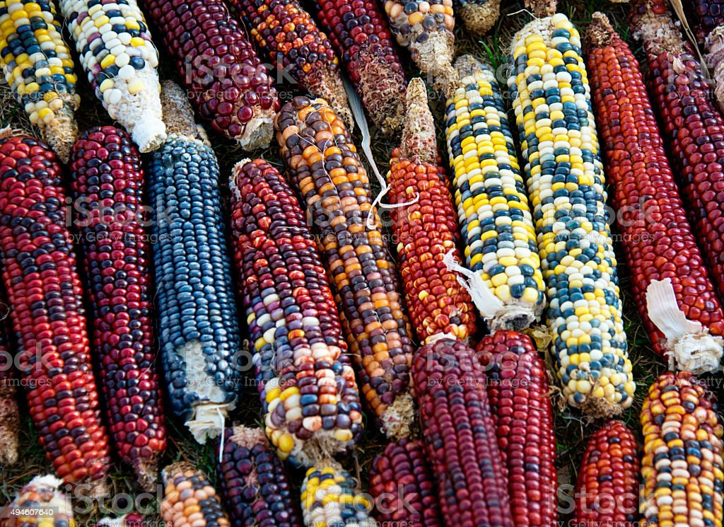 Blue Corn (also known as Hopi maize) stock photo