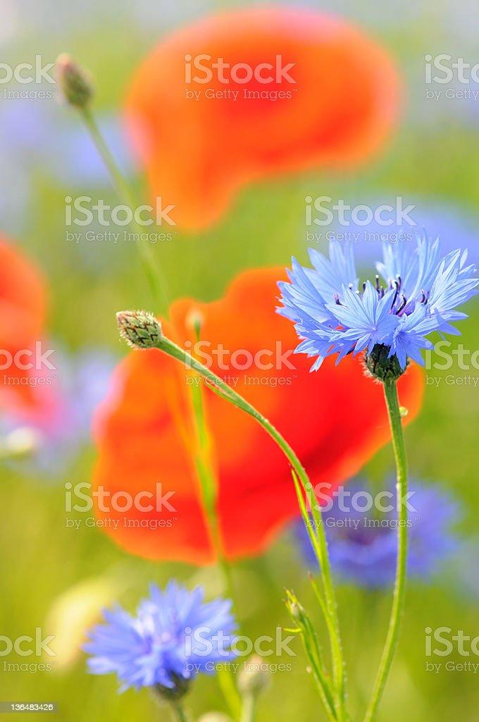 blue cornflower corn flower - blaue Kornblume mit Mohn stock photo