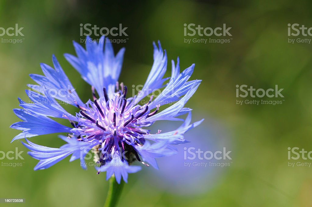 blue cornflower corn poppy stock photo