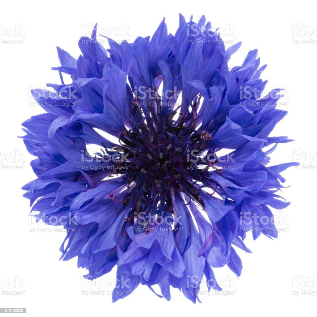 Blue cornflower head stock photo