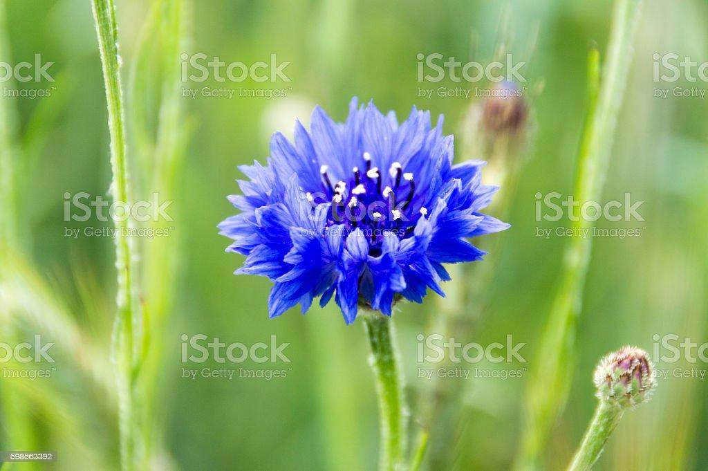 Blue Cornflower in a Meadow stock photo