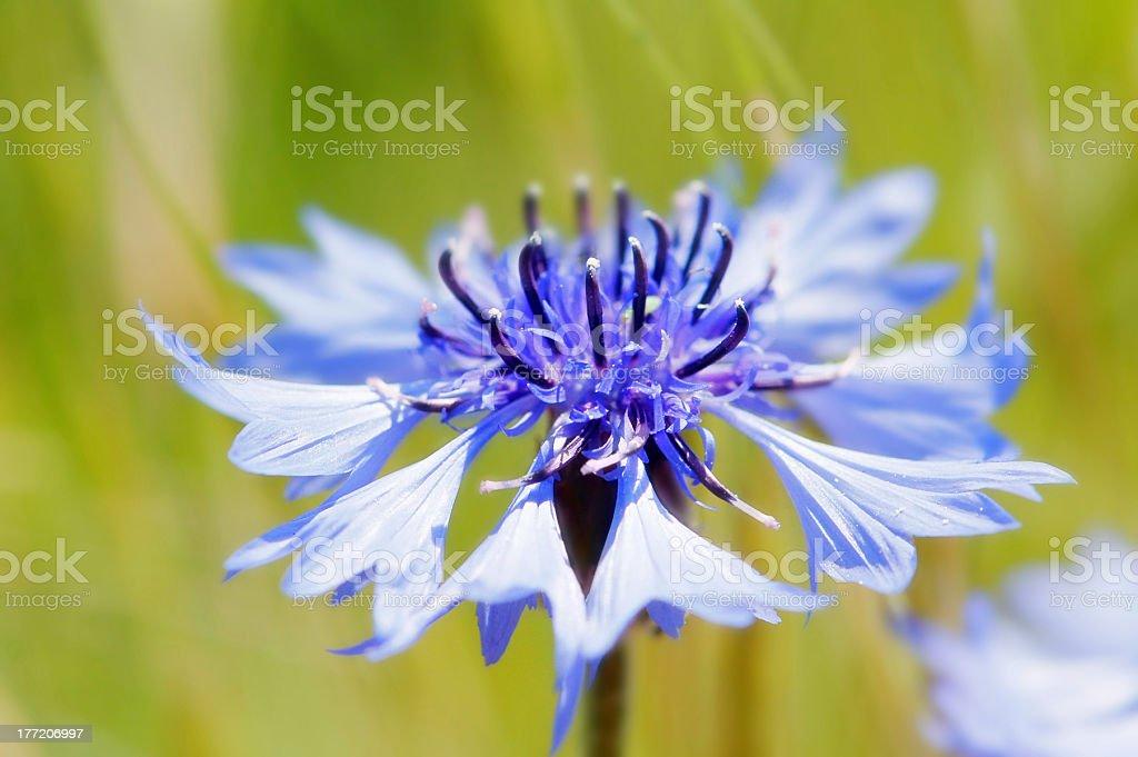 blue cornflower (Centaurea cyanus) stock photo