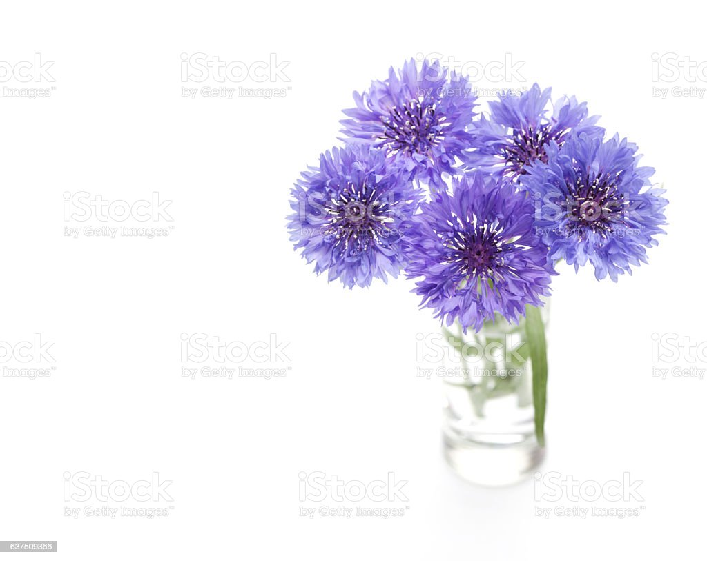 Blue cornflower. stock photo