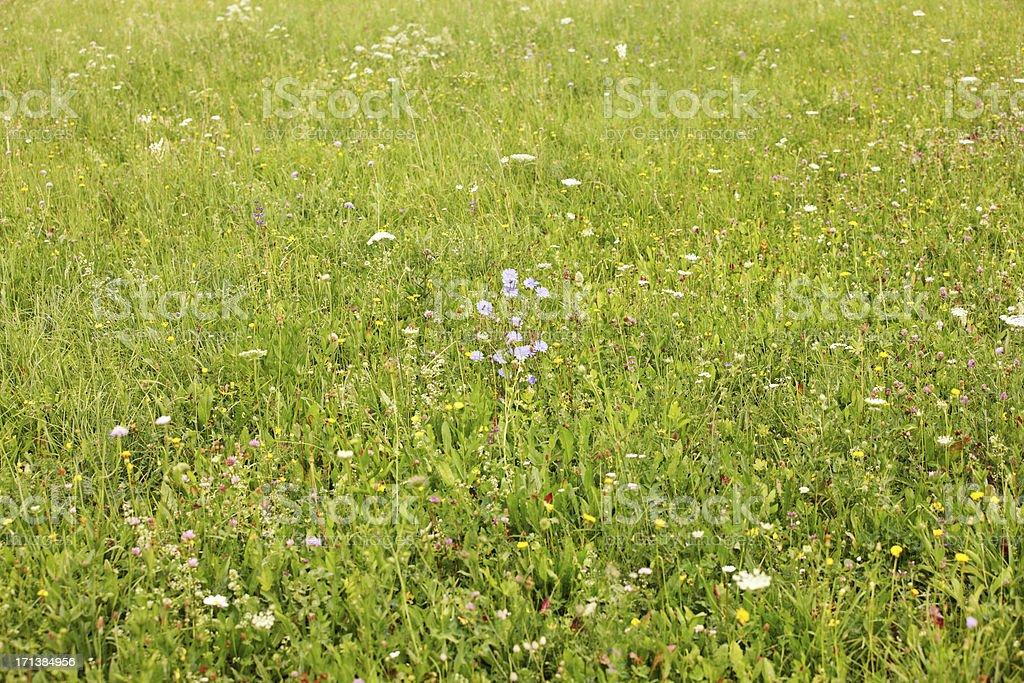 Blue cornflowers in green Summer meadow of wildflowers royalty-free stock photo